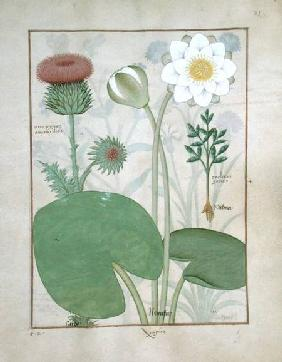 Ms Fr. Fv VI #1 fol.129r Plumed thistle, Water lily and Castor bean plant, illustration from 'The Bo