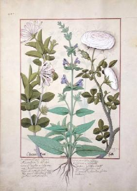 Ms Fr. Fv VI #1 fol.133v Honeysuckle, Sage and Rose
