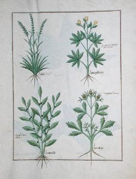 Ms Fr. Fv VI #1 fol. 126r Top row: Lolni and Geranium. Bottom row: Daphnoides and Parsley, illustrat