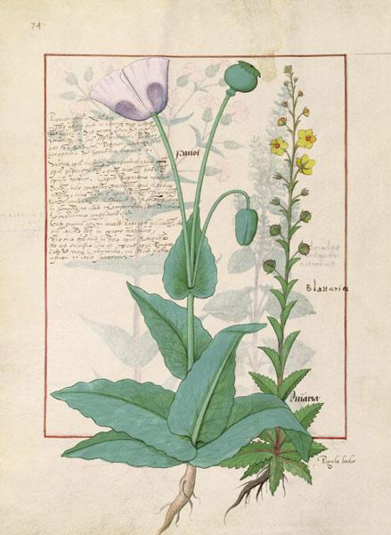 Ms Fr. Fv VI #1 fol.148v Poppy and Figwort