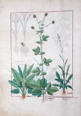 Sorrel and Gariofilata (Benedicta Wood) illustration from 'The Book of Simple Medicines' by Mattheau