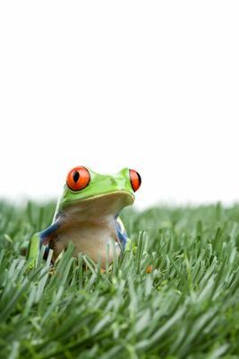 red-eyed tree frog in grass