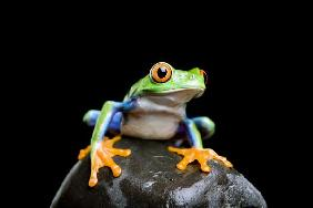 frog on a rock isolated black