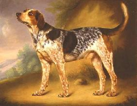 Richard Strachey's Hound 'Glancer'