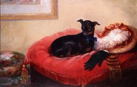 Her Favourite Pet: a Manchester Terrier on a red cushion