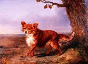 'Fox', A Favourite Dog